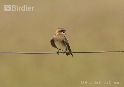Tawny-headed Swallow