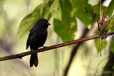 Blackish-blue Seedeater