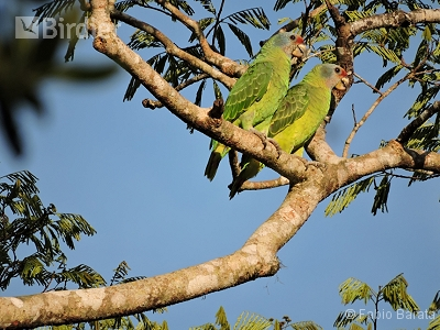 Red-tailed Parrot