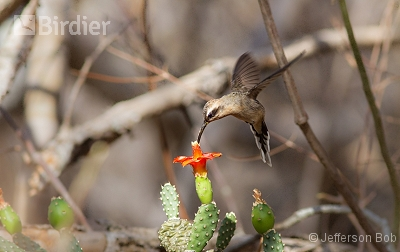 Broad-tipped Hermit