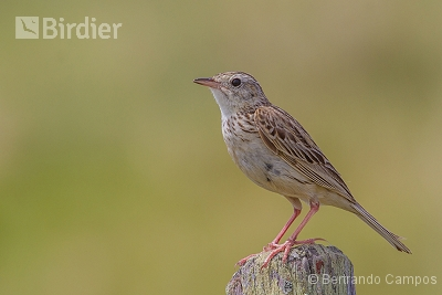 Short-billed Pipit