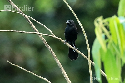 Forbes's Blackbird