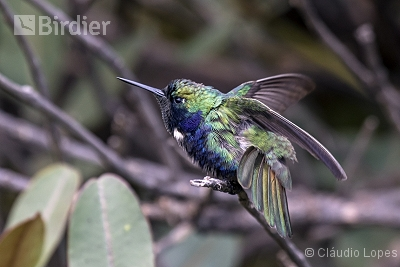 Hyacinth Visorbearer