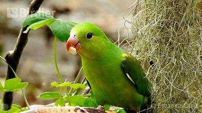 Plain Parakeet