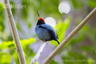 Swallow-tailed Manakin