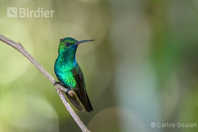 Blue-chinned Sapphire