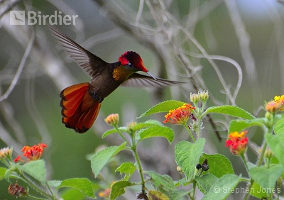 Ruby-topaz Hummingbird