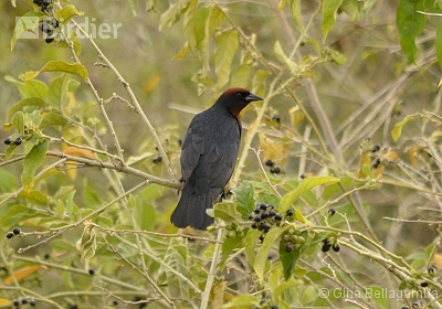 Chestnut-capped Blackbird