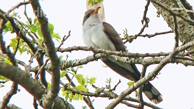 Pearly-breasted Cuckoo