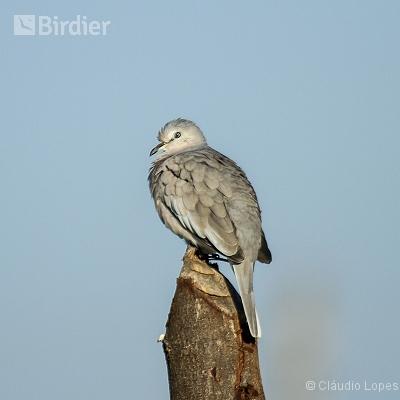 Picui Ground-Dove