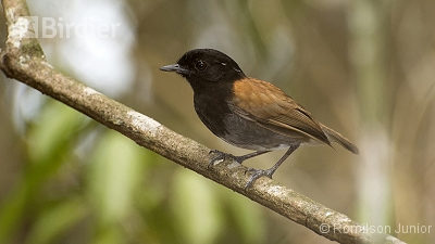 Hooded Gnateater
