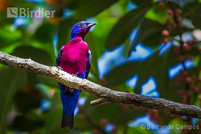 Purple-breasted Cotinga