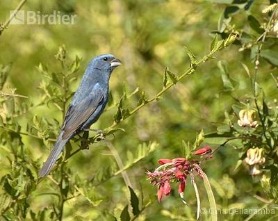 Glaucous-blue Grosbeak
