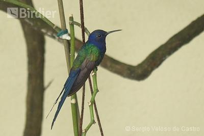 Swallow-tailed Hummingbird