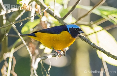 Golden-rumped Euphonia
