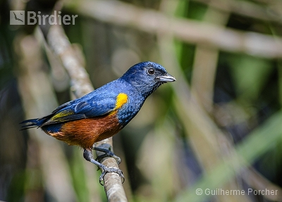 Chestnut-bellied Euphonia