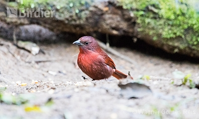 Red-crowned Ant-Tanager