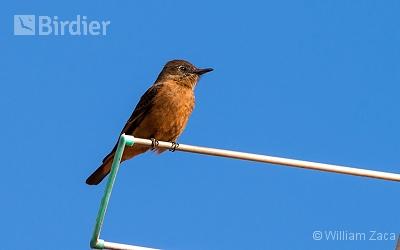 Cliff Flycatcher