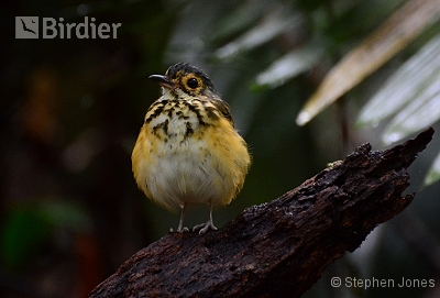 Spotted Antpitta