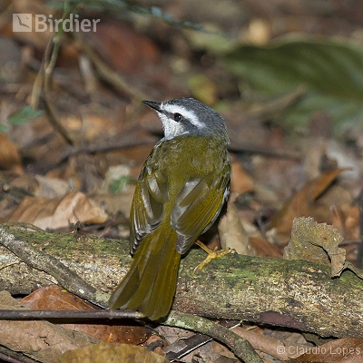 White-striped Warbler