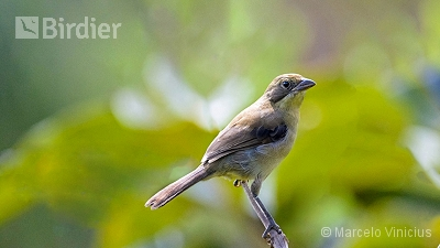 White-banded Tanager