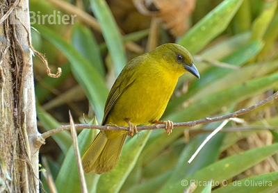 Olive-green Tanager