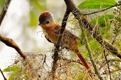 Chestnut-crowned Becard