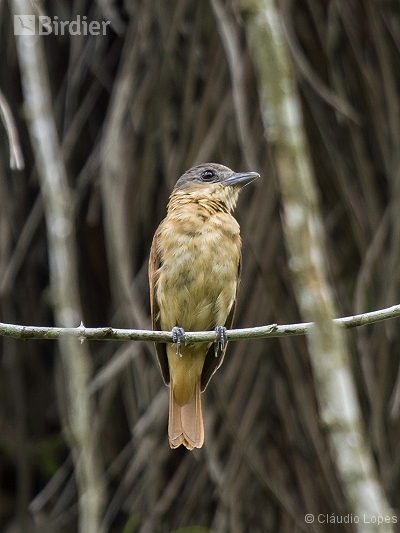 Crested Becard