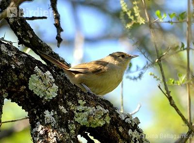 Little Thornbird
