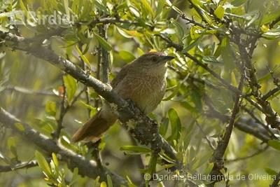 Freckle-breasted Thornbird