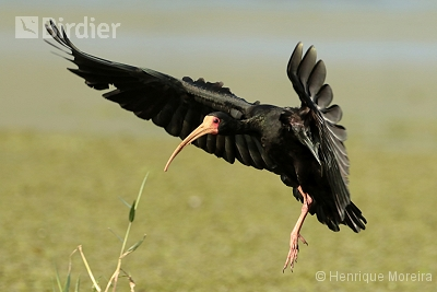 Bare-faced Ibis