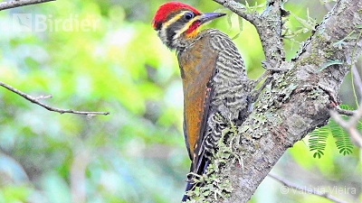 White-browed Woodpecker