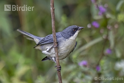 Cinereous Warbling-Finch