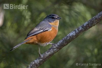 Buff-throated Warbling-Finch