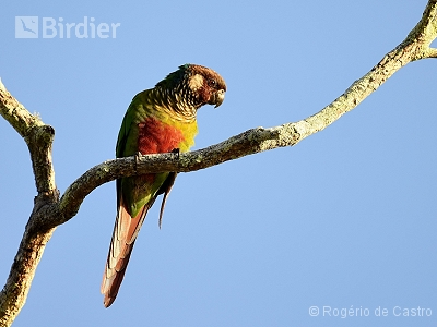 Maroon-faced Parakeet