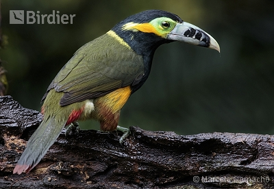 Spot-billed Toucanet