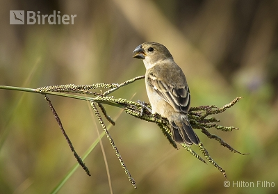 Rusty-collared Seedeater