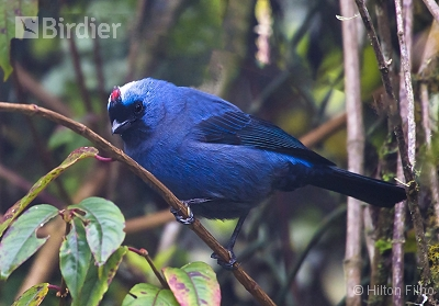 Diademed Tanager