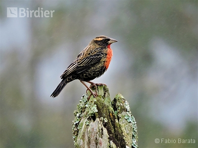 White-browed Meadowlark