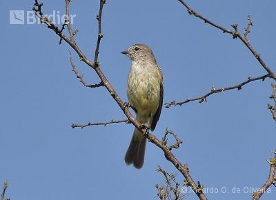 Southern Scrub-Flycatcher