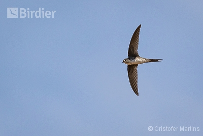 Fork-tailed Palm-Swift