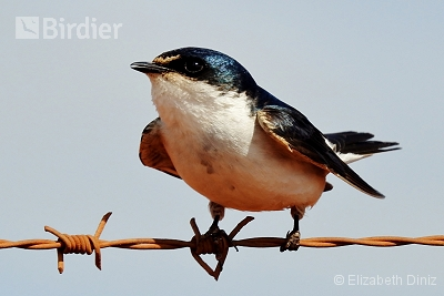White-rumped Swallow