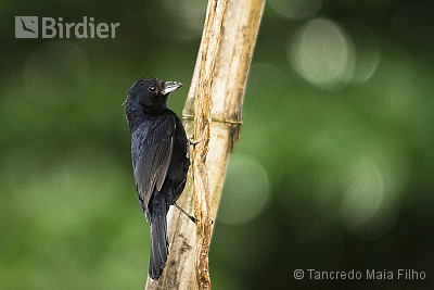 Ruby-crowned Tanager