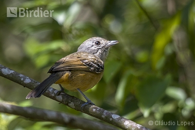 Variable Antshrike