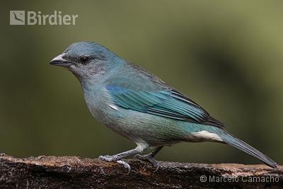 Azure-shouldered Tanager