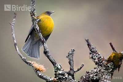 Gray-winged Cotinga