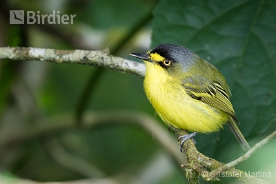 Gray-headed Tody-Flycatcher