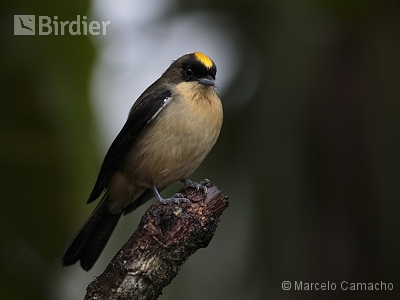 Black-goggled Tanager