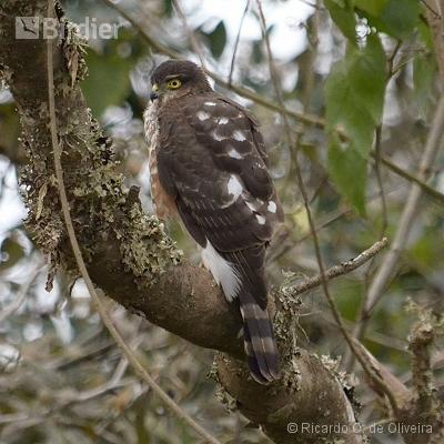 Accipitridae - Falconidae