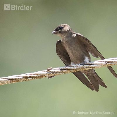 Aves de Manacapuru AM